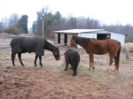 """horses of shantara acres farm"""