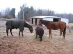 """horses of shantara acres farm"""