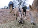 Alpine dairy goat, goat milk, goat soap