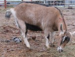 """alpine dairy goat doe"""