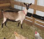 """alpine dairy goat milking doe"""
