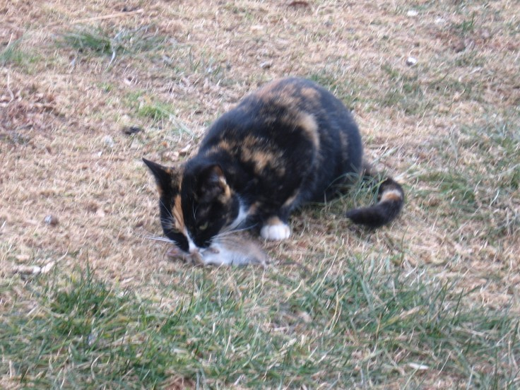 cat eats a rat