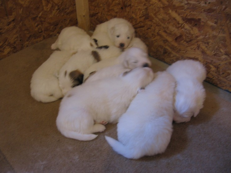 """""""litter of great pyreneese puppies"""""""