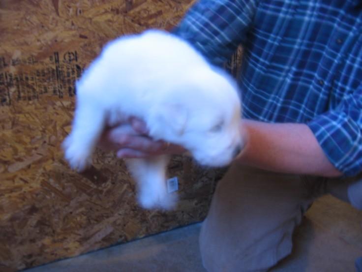 """Pyreneese puppy"""