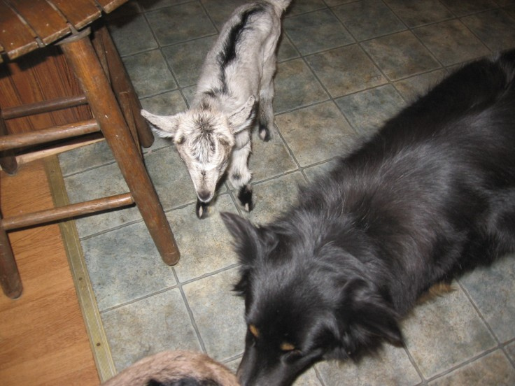 Border collie cleans up a goat kid