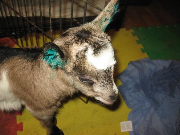 alpine goat kid