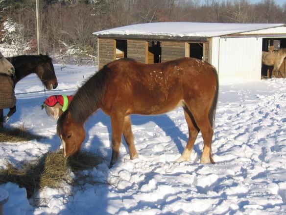"""Arabian Gelding in the Virginia Snow"""