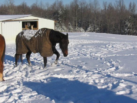 """horse walking in the snow wearing his rhino horse  rug"""