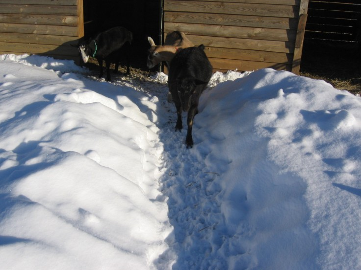 """""""Alpine Dairy Goat Does in the Virginia Snow"""""""