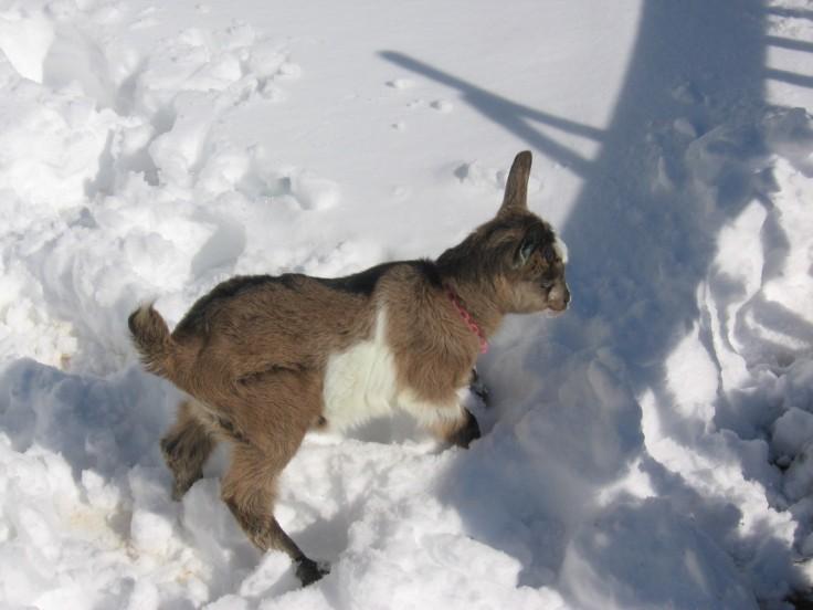 alpine dairy goat kid in the snow