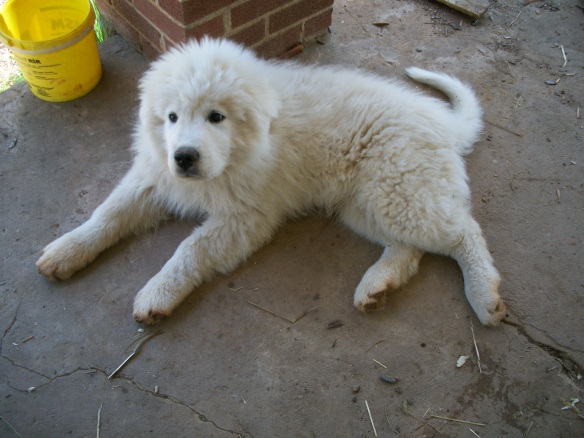 Great Pyreneese Puppy