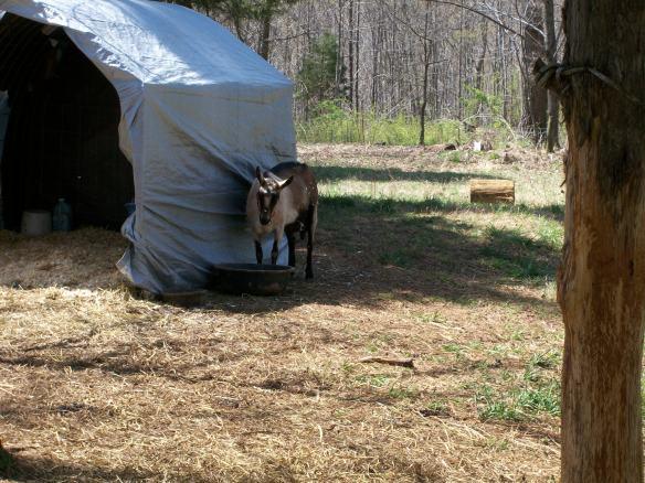 Alpine Dairy Goat Doe