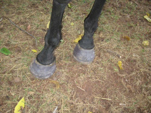 founder, eva shoes, natural hoof care
