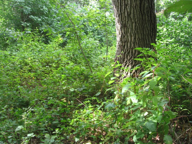 tick-infested underbrush in virginia, weeds for goats
