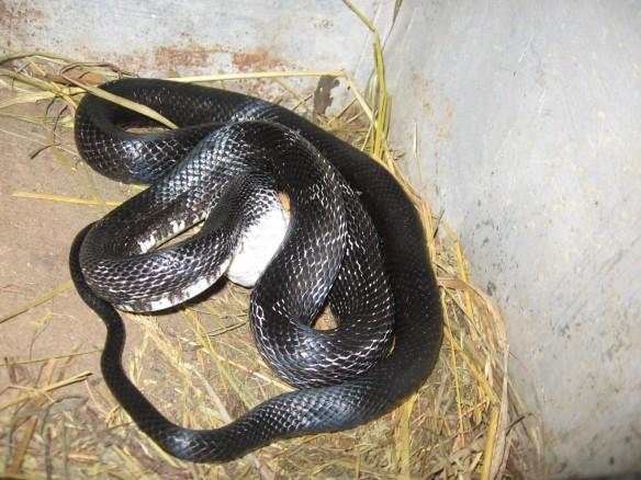 black snake, egg-eating snake, chickens, homesteading