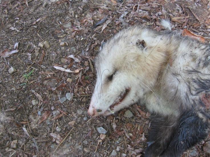 dead possum, road kill, marsupial animals