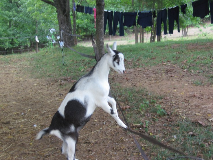 goat jumping on fence