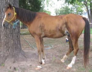 Crabbet Arabian Horse