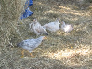 chickens scratching in the hay pile