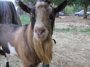 """""""buck_goat_in_rut.jpg"""", alpine dairy goat buck"""