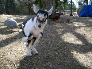"""""""Alpine dairy goat kid"""""""