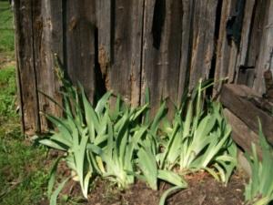 """planting irises"""