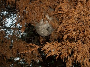 """wasp nest in dead cedar tree in va."""